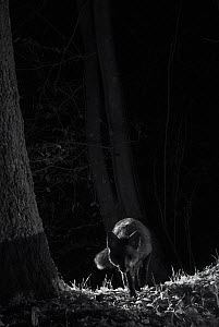 Red fox (Vulpes vulpes) taken at night using infra-red remote camera trap, France, November.  -  Eric  Medard