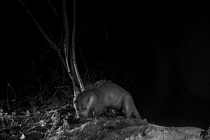 Otter (Lutra lutra) on river bank, taken at night with infra red remote camera trap, Mayenne, Pays de Loire, France, December.  -  Eric  Medard