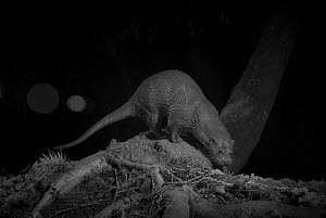 Otter (Lutra lutra) on river bank, taken at night with infra red remote camera trap, Mayenne, Pays de Loire, France, March.  -  Eric  Medard