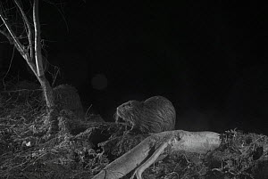 Coypu (Myocastor coypus) taken at night with infra-red remote camera trap, France, January. - Eric  Medard