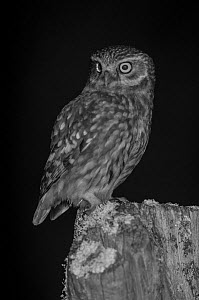 Little owl (Athene noctua) on post in garden, taken at night with infra red remote camera trap, Mayenne, Pays de Loire, France, March.  -  Eric  Medard