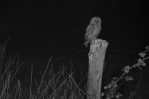 Tawny owl (Strix aluco) on post, taken at night with infra-red remote camera trap, France, April.  -  Eric  Medard
