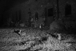 Rabbits (Oryctolagus cuniculus) in garden, taken at night with infra red remote camera trap, Mayenne, Pays de Loire, France. - Eric  Medard