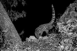 European genet (Genetta genetta) taken at night with infra red remote camera trap, Ariege, France, May. - Eric  Medard