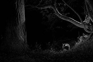 Badger (Meles meles) in garden, taken at night with infra red remote camera trap, Mayenne, Pays de Loire, France, August.  -  Eric  Medard