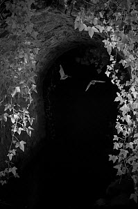 Bats (Microchiroptera) in flight under bridge, taken at night with infra red remote camera trap, Mayenne, Pays de Loire, France, August.  -  Eric  Medard