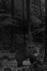European brown bear (Ursus arctos arctos) walking through forest at night, taken with infra red remote camera trap, Slovenia, October. - Eric  Medard