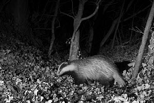 Badger (Meles meles) at night, infra red remote camera trap photo, Mayenne, Pays de la Loire, France, January.  -  Eric  Medard