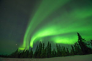Northern lights (Aurora borealis) glowing brightly over trees along Steese Highway, Cleary Point, outside Fairbanks, Alaska - Steven Kazlowski