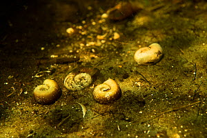 Empty Great ram's horn snail (Planorbarius corneus) shells laying on riverbed of a small tributary to Danube Delta, Romania, June.  -  Wild  Wonders of Europe / Lundgren