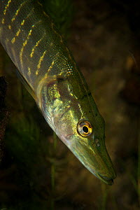 Northern pike (Esox lucius) in tributary to Old Danube, Danube Delta, Romania, June.  -  Wild  Wonders of Europe / Lundgren
