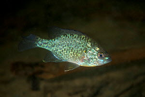 Pumpkinseed sunfish (Lepomis gibbosus) invasive species, Danube Delta, Romania, June.  -  Wild  Wonders of Europe / Lundgren
