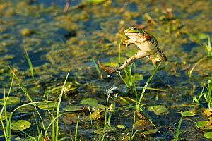 Marsh frog (Pelophylax ridibundus) jumping, Danube Delta, Romania, June.  -  Wild  Wonders of Europe / Lundgren