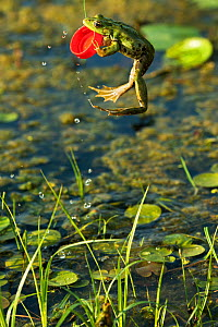 Marsh frog (Pelophylax ridibundus) jumping and biting onto plastic bottle lid, Danube Delta, Romania, June.  -  Wild  Wonders of Europe / Lundgren