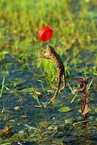 Marsh frog (Pelophylax ridibundus) jumping after plastic bottle lid, Danube Delta, Romania, June.  -  Wild  Wonders of Europe / Lundgren