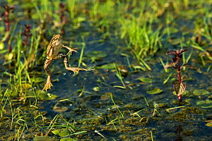 Marsh frogs (Pelophylax ridibundus) jumping, one with its mouth open, Danube Delta, Romania, June.  -  Wild  Wonders of Europe / Lundgren