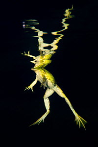 Pool frog (Pelophylax lessonae) reflected in waters surface at night, Danube Delta, Romania, June. - Wild  Wonders of Europe / Lundgren