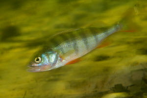 European perch (Perca fluviatilis) Danube Delta, Romania, June.  -  Wild  Wonders of Europe / Lundgren