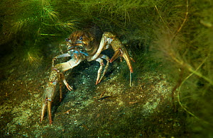 Galician crayfish (Astacus leptodactylus) hiding in the weed, Danube Delta, Romania, June.  -  Wild  Wonders of Europe / Lundgren