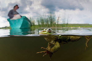Pool Frog (Pelophylax lessonae) split level shot with Christian Mititelu watching from boat, near Crisan village, Danube Delta, Romania, June 2013.  -  Wild  Wonders of Europe / Lundgren