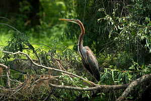 Purple Heron (Ardea purpurea) profile, Danube Delta, Romania, June.  -  Wild  Wonders of Europe / Lundgren