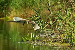 Squacco Heron (Ardeola ralloides) flying with pike prey, Danube Delta, Romania, June.  -  Wild  Wonders of Europe / Lundgren