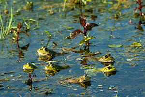 Marsh frogs (Pelophylax ridibundus) amongst lilies, Danube Delta, Romania, June.  -  Wild  Wonders of Europe / Lundgren