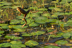Marsh frog (Pelophylax ridibundus) jumping amongst lilies, Danube Delta, Romania, June.  -  Wild  Wonders of Europe / Lundgren