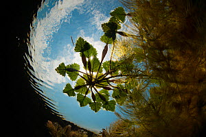 Water chestnut (Trapa natans) viewed from underwater, in Danube Delta, Romania, June.  -  Wild  Wonders of Europe / Lundgren