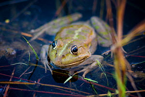 Pool Frog (Pelophylax lessonae) near Crisan village, Danube Delta, Romania, June.  -  Wild  Wonders of Europe / Lundgren