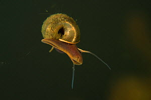 Unidentified swimming freshwater snail species,  Danube Delta, Romania, June.  -  Wild  Wonders of Europe / Lundgren