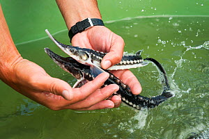 Young Starry sturgeons (Acipenser stellatus) held in hand at Kavoar House farm, Horia village, close to Danube Delta, Romania, June. Critically endangered.  -  Wild  Wonders of Europe / Lundgren