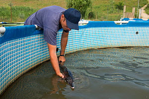 Starry sturgeon (Acipenser stellatus) held in hand at Kavoar House farm, Horia village, close to Danube Delta, Romania, June. Critically endangered.  -  Wild  Wonders of Europe / Lundgren