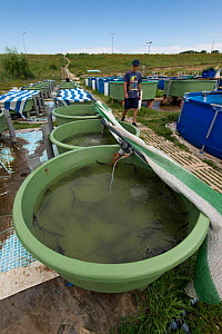 Sturgeon farm raising mainly Starry sturgeons (Acipenser stellatus) Kavoar House farm, Horia village, close to Danube Delta, Romania, June. Critically endangered.  -  Wild  Wonders of Europe / Lundgren