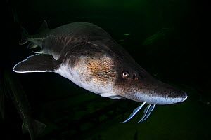 European sturgeon (Huso huso) captive at Danube Delta Eco-Tourism Museum Centre aquarium in Tulcea, Danube Delta, Romania, June. Critically endangered.  -  Wild  Wonders of Europe / Lundgren