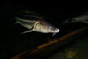 Russian sturgeon (Acipenser gueldenstaedtii) captive at Danube Delta Eco-Tourism Museum Centre aquarium in Tulcea, Danube Delta, Romania, June. Critically endangered.  -  Wild  Wonders of Europe / Lundgren