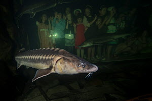 Tourists viewing Russian sturgeon (Acipenser gueldenstaedtii) in an aquarium, Danube Delta Eco Tourism Museum Center, Tulcea, Romania, June 2013. Critically endangered.  -  Wild  Wonders of Europe / Lundgren