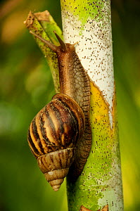 Giant African land snail (Achatina fulica) Royal Bardia National Park, Nepal, October 2011.  -  Enrique Lopez-Tapia