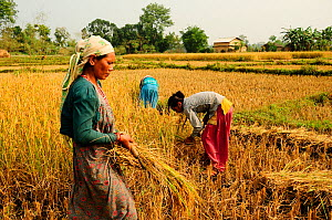 Women reaping the harvest in the fields adjacent to the Royal Bardia National Park, Nepal, October 2011. - Enrique Lopez-Tapia