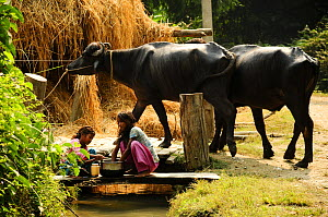 Girls preparing vegetables, with domestic Asian water buffalo (Bubalus bubalis) in a Tharu village outside the Royal Bardia National Park, Nepal, October 2011. - Enrique Lopez-Tapia