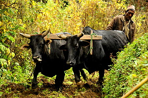 Man ploughing the ground with two oxen. Ghandruk Village (at 1990m). Annapurna Sanctuary, central Nepal, November 2011.  -  Enrique Lopez-Tapia