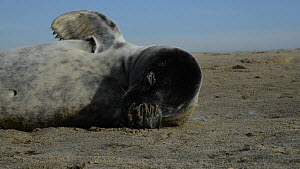 Grey seal (Halichoerus grypus) pup resting on a sandy beach, stretching and rubbing its head with its flipper, Norfolk, England, UK, January.  -  Nick Upton