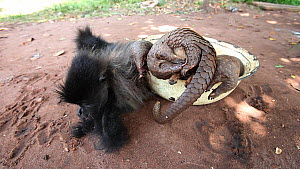 Dead Grey-cheeked mangabey (Lophocebus albigena) and Tree pangolins (Phataginus tricuspis) for sale as bushmeat in a village, Dzanga-Ndoki National Park, Sangha-Mbaere Prefecture, Central African Repu...  -  Jabruson Motion