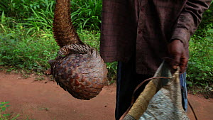 Hunters putting a Tree pangolin (Phataginus tricuspis) into a sack to go to Bayanga market, Dzanga-Ndoki National Park, Sangha-Mbaere Prefecture, Central African Republic, May 2012.  -  Jabruson Motion