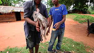 Hunters with dead Blue duiker (Cephalophus monticola), Dzanga-Ndoki National Park, Sangha-Mbaere Prefecture, Central African Republic, May 2012. - Jabruson Motion
