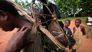 Hunter putting on a rucksack filled with bushmeat for transport to market, including Blue duiker (Cephalophus monticola) and Putty-nosed monkey (Cercopithecus nictitans), Dzanga-Ndoki National Park, S...  -  Jabruson Motion