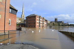 Flood-water from the River Severn with Mute swans (Cygnus olor) during the record breaking 2014 floods. Worcester Cathedral, Brown's Restaurant and the Glover's Needle in the background. England, UK,...  -  Will Watson