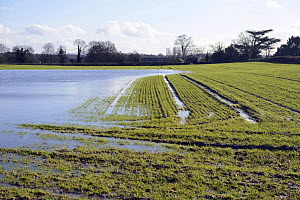Floodwater on arable field with winter wheat, Herefordshire, England, UK, 11th February 2014.  -  Will Watson
