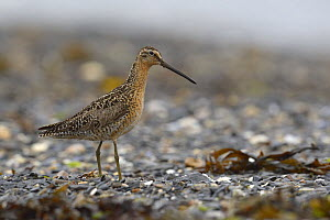 Short-billed Dowitcher (Limnodromus griseus) feeding, British Columbia, Canada, June. - Loic  Poidevin
