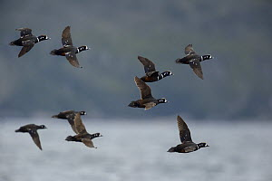 Harlequin Duck (Histrionicus histrionicus) flying, British Columbia, Canada, June.  -  Loic  Poidevin